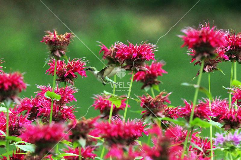Hummingbird by pthiele