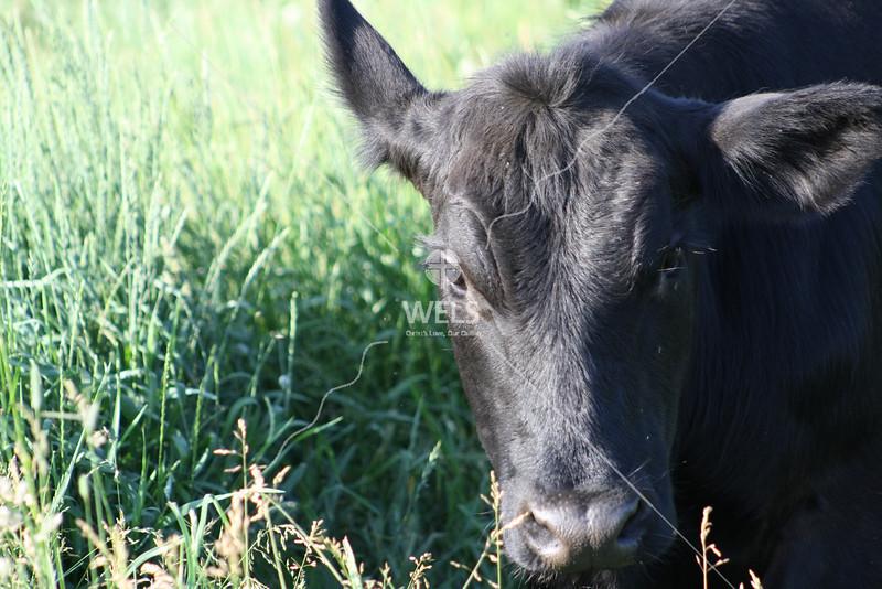 Cow closeup by jduran