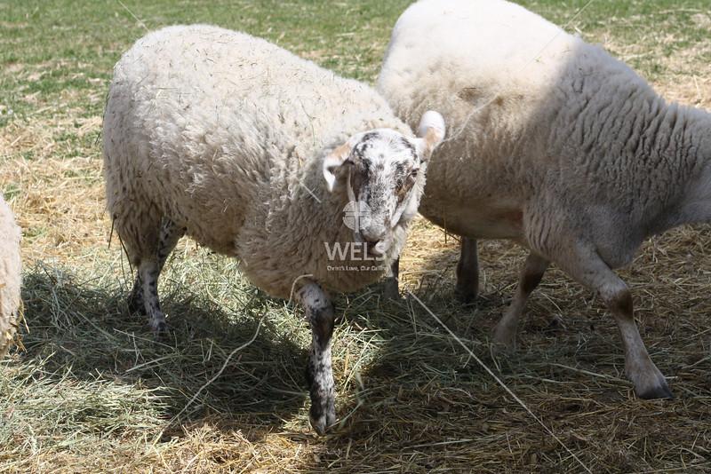 Lamb  by jduran