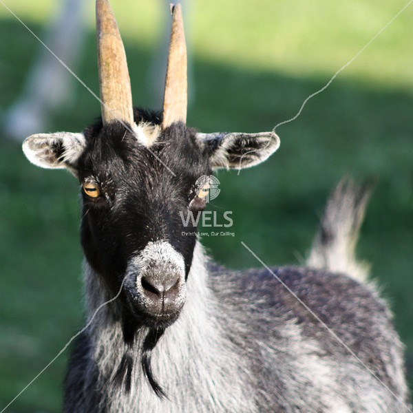 Goat with horns by jduran