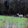 Female Wild Deer in North Carolina