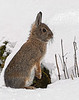 Mountain Cottontail (Posterized)