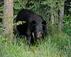 Black Bear - Banff, Canada