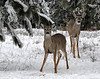 Fawn and Buck - White Tail Deer