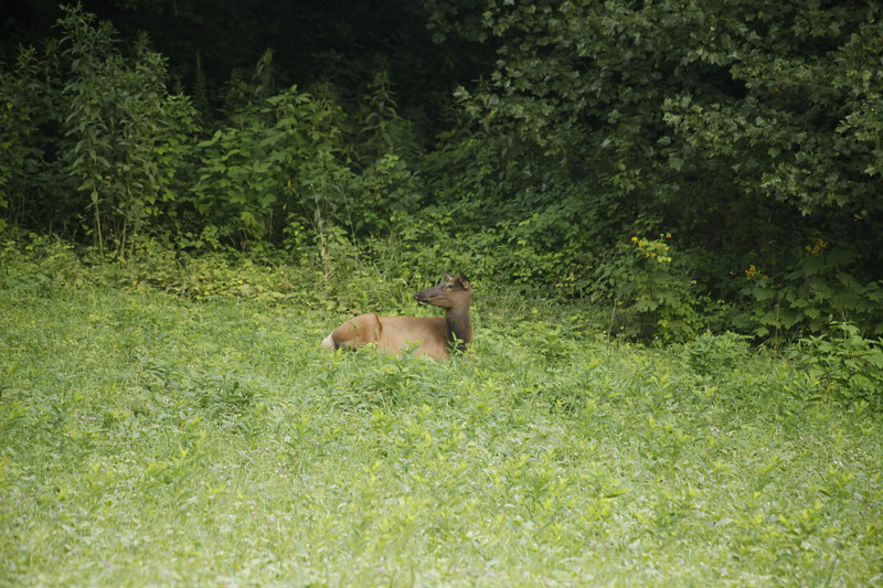 Elk in the Smoky Mountain State Park