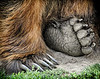 Grizzly Paws