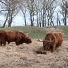 Schotse higlander koeien