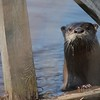 Otter peering at me at the wildlife refuge -