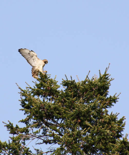 Hawk Landing in Pine