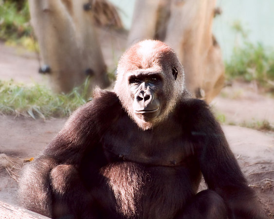 This is a gorilla at the San Diego zoo. The gorilla enclosure has a tinted viewing window that gives a blue/green tint to photographs. This image was shot in RAW and, by adjusting the white balance, I was able to remove the blue cast.