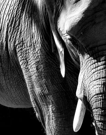 Elephant - Available in 11X14 & 22X28 - Black & White Print