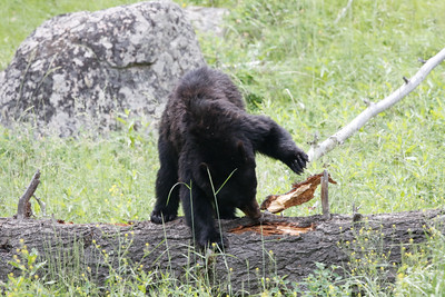 Black Bear Lamar Valley in Yellowstone Park ^/26/2015