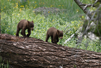 Black Bear Cubs Lamar Valley in Yellowstone Park 6/26/2015