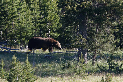 Grizzly Bear Yellowstone Park 6/26/2015