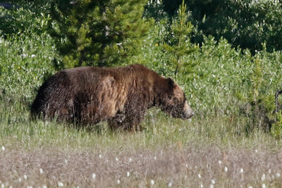 Grizzly Bear Yellowstone Park 6?26/2015