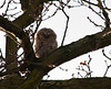 Our new neighbor, a Tawny owl chick.  Taken on the 13th of March 2010 which is very early.
