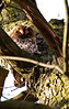 Our new neighbor, the mother Tawny owl.