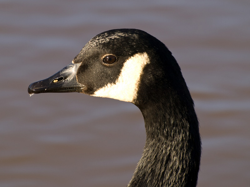Canada Goose on the river in York