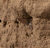 Sand Martins by the River Ouse in York.<br /> Hand held with the E3 and 50-200mm at max reach.