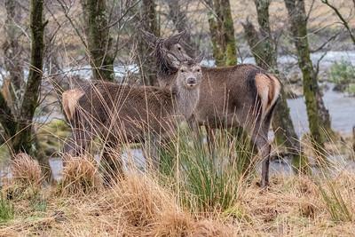 Red Deer - Glen Etive