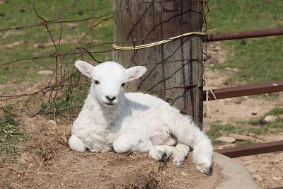 Resting lamb