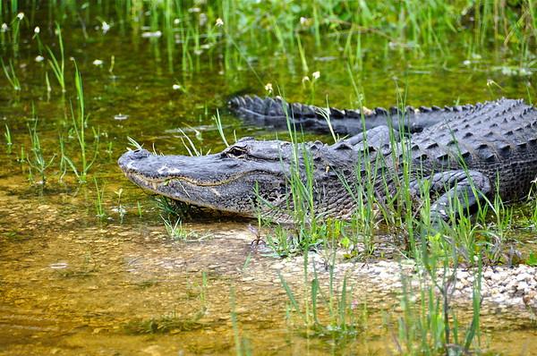 A Big Alligator Smile