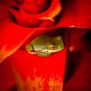 Little Tree Frog in a Bromeliad
