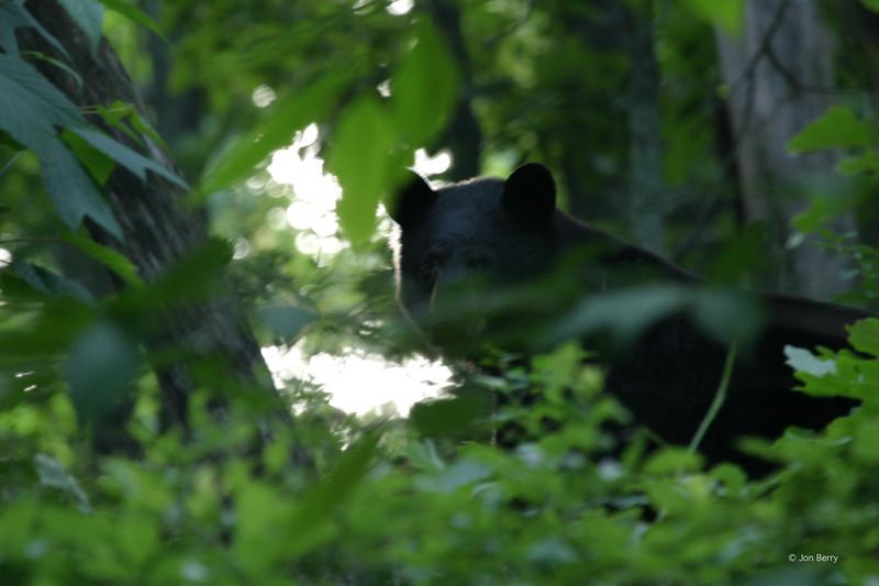 Black Bear along the Skyline Drive