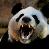 Open Wide - Great Panda at Zoo Atlanta