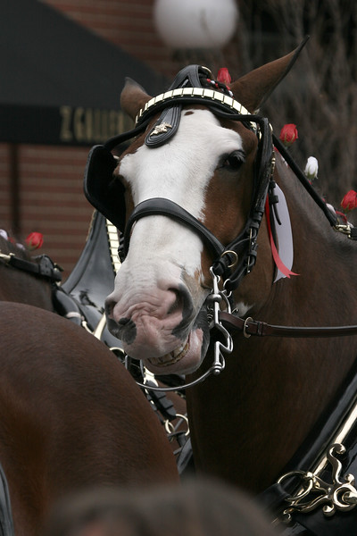 Smiles from a Clydesdale