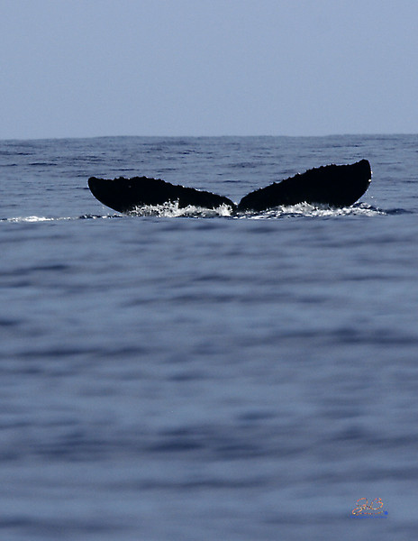 Humpback Whale tail off the north shore of Oahu