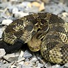 Timber Rattlesnake along the Skyline Drive<br /> <br /> Back Off! This is my trail...<br /> I finally had to pick him up and move him to the grass at the side of the trail. He was NOT happy about it.