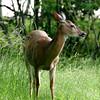 Deer on the Skyline Drive, Virginia