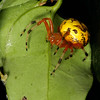 A female marbled orb weaver (Araneus marmoreus)