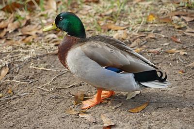 Duck_DSC01152