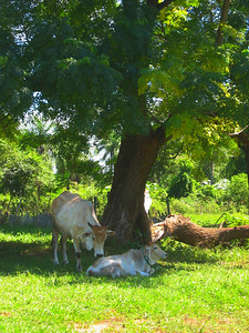 Paraguay cattle