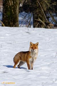 Curious fox (crop)