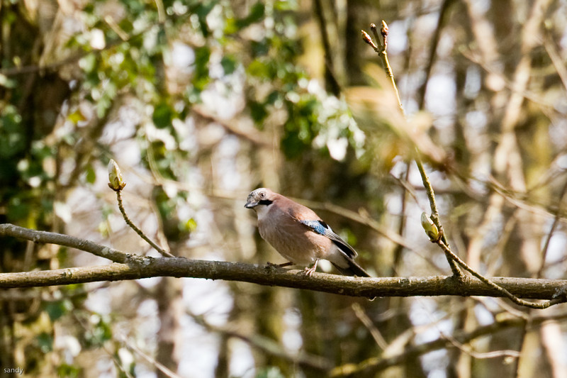 Jay in local woods