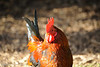 "CornwallAnimals 2009;rooster;bird;colour;""nikon d700"";"