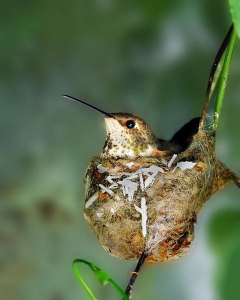 Allen's Hummingbird sitting on eggs.