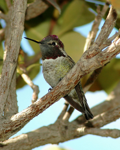 Male Anna's Humminbird