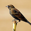 Red-Winged Blackbird<br /> (Immature Male)
