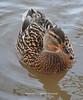 Tehidy Woods Duck