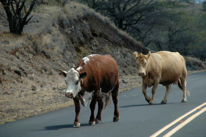 Hawaiian Cattle