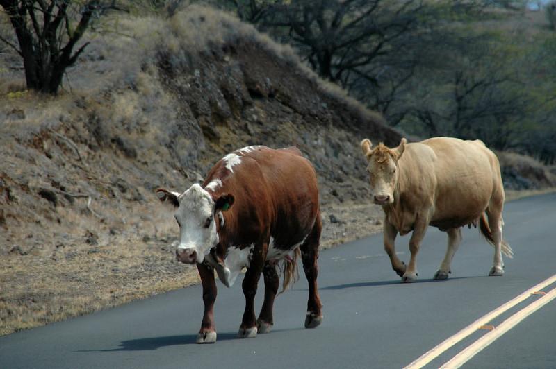Hawaiian Cattle