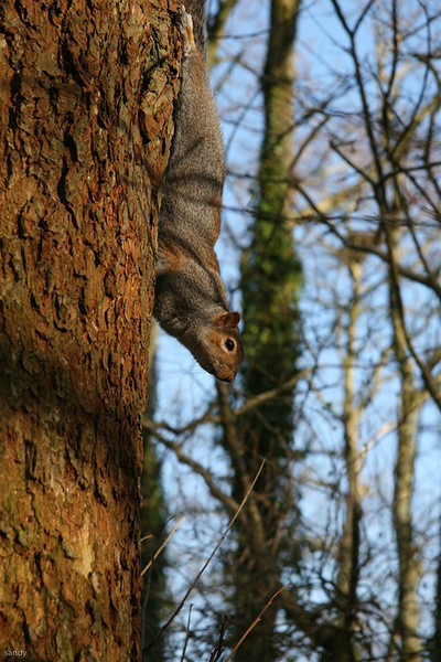 Squirrel up tree