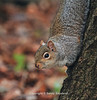 Tehidy Woods Squirrel