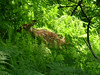 Fawn forages near the Blackwater River<br /> <br /> Photo by Shannon Anderson