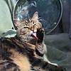 Cat in shop window, Upton on Severn