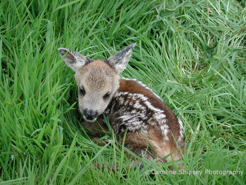 I was walking all the dogs when they found these deer calves.  They were only a few hours old, their tiny hooves still translucent, and not yet able stand.    A few quick shots taken and then we left, their mother was watching from about 200yds away.